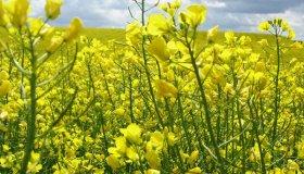 Производство биотоплива из растительного масла (рапса)
