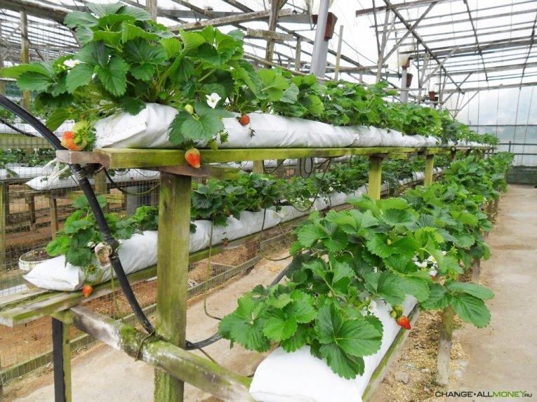 Как заработать на выращивании клубники в теплице или дома?