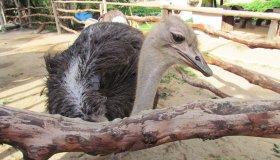Страусиный бизнес: выращивание и разведение страусов