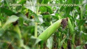 Бизнес идея: выращивание кукурузы